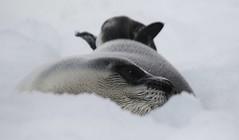 Harp Seal (kearneyjoe) Tags: hooded seal flatrock newfoundland