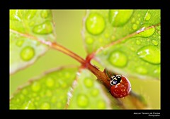 Joaninha (III) (Marcos Teixeira de Freitas) Tags: bug insect inseto brasil brazil outono fall autumn marcosteixeiradefreitas 50d 100mm canon ladybug joaninha macro closeup
