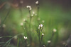 After the rain (Chloé +++) Tags: flower flowers rain green white leaf leaves winter bokeh grass france occitanie canon eos 400d light brown nature natural natur forest water 50mm field soft proxi plant march