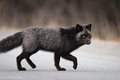 Crossing Guard- Kodiak Alaska (rishaisomphotography) Tags: silverfox vulpesvulpes fox black mammal wildlife kodiak alaska nature naturephotographer fluffy furry adorable wildlifephotographer explored inexplore canonshooter 1dxii canon500mmii
