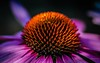 Still Waiting for Summer (CORDAN) Tags: dmyers cordan 2017 nikond300 nikkor105mmf28vrmicro flowers green red yellow vine bud blooming dof yard frickfrack