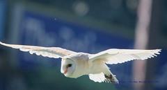 Born In A Barn......... (law_keven) Tags: barnowl owls owl birds bird avian flying flight colchester colchesterzoo photographs wildlifephotography raptor raptors