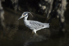 Plying the Dark Waters for a Meal (SteveFrazierPhotography.com) Tags: heron reef rocks shore shoreline fishermensvillage puntagorda charlottecounty florida fl bird plumes feathers wading plying beautiful stevefrazierphotography canoneos60d charlotteharbor peaceriver water sunlight light wildlife fowl