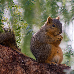 Buddha Squirrel strikes again (suzeesusie) Tags: squirrel squirrels animal wildlife nature outdoors california garden yard tree cute furry face buddha belly