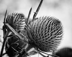 BULGING (Loris G.) Tags: bw macro bulging wild details flora