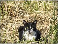GATO (BLAMANTI) Tags: gatos felinos naturaleza silvestres negro blanco