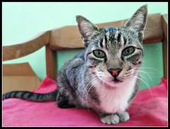 Morrito (MaPeV) Tags: morris bellolindoguapetón gatos cats chats kawaii felin neko gatti gattini gattoni tabby chat katze gato kitty tabbyspoted powershot canon g16