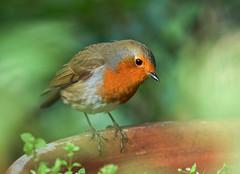 Robin (paulapics2) Tags: bird robin garden nature depthoffield europeanrobin erithacusrubella robinredbreast canoneos5dmarkiii canonef70300mmf456lisusm seeing looking gazing sweet cute