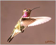 Male Anna's (Catsbow) Tags: hummingbird annas bow padillabay washington explore