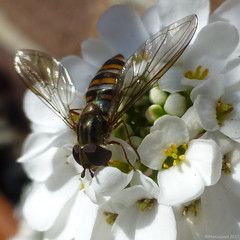 Episyrphus balteatus, marmalade hoverfly (Photospool) Tags: episyrphusbalteatus marmaladehoverfly syrphidae hoverfly fly diptera