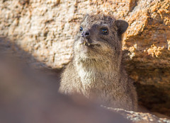 Rock Hyrax (Procavia capensis) (George Wilkinson) Tags: procaviacapensis rock hyrax goegap nature reserve northern cape south africa canon 7d 400mm wildlife
