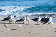Seagulls (KPPG) Tags: seagulls florida sea meer nature natur strand beach fortlauderdale möwen 7dwf fauna