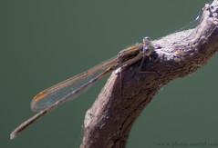 Leste brun (lestidae) (kahem54) Tags: testidae demoiselles eau étangs roseaux lestesbrun lestes
