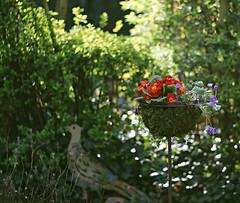 Eveningsun in my garden (Magreen2) Tags: helios bokeh oldlens flowers stillife garden colours light sunshining licht farben garten rot grün red green abendsonne leuchtend