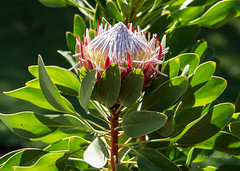 Sun soaked Protea (idunbarreid off / on) Tags: protea doublefantasy