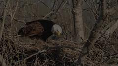 bald eagle nest feeding young (William Van der Hagen) Tags: eagle eagles nest nesting feeding young chicks bald raptors birdsofprey