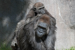 Silverback Gorillas. (LisaDiazPhotos) Tags: lisadiazphotos silverback gorillas joanne wildlife sdzsafaripark sdzoo sdzsp sandiegozoo sandiegozooglobal sandiegozoosafaripark sandiego