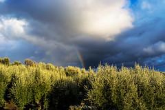 Nocellara of the #Etna #CT #Sicilia #Italia . (rossolavico) Tags: europa europe italia italy sicilia sicily catania squatritomassimilianosalvatore rossolavico etna aetna vulcano vegetazione paesaggio landscape vulcanoattivo cielo sky clouds nuvole filerawnefconversionjpeg filerawnef fileraw viewnx2users vineyard olivetree vigneti ulivi flickrsicilia rain pioggia chiesa church