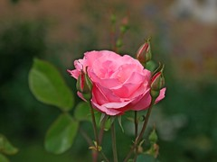 pink rose... (Lyubov) Tags: pink flowers rose fantasticflower