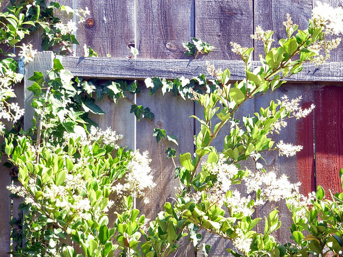 Flowering Bush Along Fence