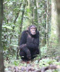 (jotandwretchedly) Tags: chimpanzee uganda kibale