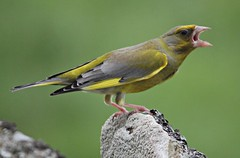 Male Greenfinch (Carduelis chloris), (ColGould) Tags: scotland greenfinch malegreenfinch