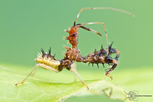 Assassin Bug - Sinea sp.