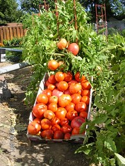 Tomatoes (Spray-N-Grow) Tags: tomato tomatoes organicvegetables organictomatoes tomatogarden growingtomatoes tomatocrop organicvegetablegarden sprayngrow growingorganicvegetables tomatofertilizer vegetablefertilizer organictomatofertilizer montanagardening