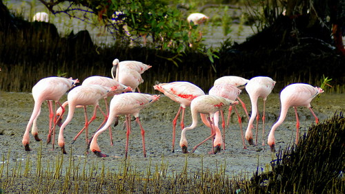 Flamingos at Sewri-3