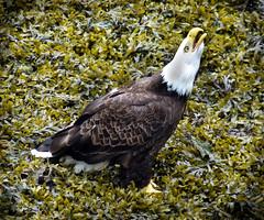 Eagle (zenosaurus) Tags: vacation snow mountains ice alaska russia glacier juneau glaciers sitka eagles russianorthodox