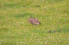 LittleOwl_15062013_2a (Kim Wall Photography (Purplesun2001)) Tags: somerset littleowl nyland kimwallphotography