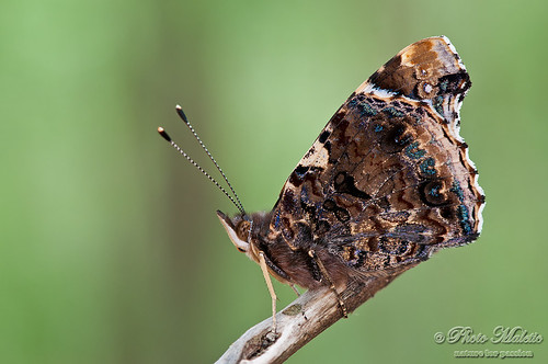 Vanessa atalanta (the Red Admiral)