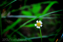 father's day wildflower (©DocTony Photography) Tags: plant flower macro nature highlands weed day philippines tagaytay fathers d800 doctony