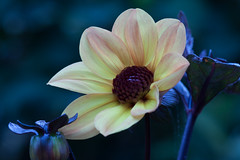 night dahlia (Soggy6) Tags: longexposure dahlia home yellow garden northcarolina wakeforest 100mm28macro