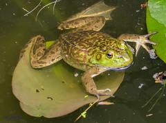 Frog @ Columbus Zoo and Aquarium (JuanJ) Tags: columbus ohio art animal jack photography zoo aquarium photo nikon hanna frog nikkor lightroom d600 jackhanna