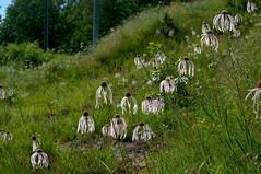Echinacea pallida (Eric Hunt.) Tags: white flower purple echinacea pale asteraceae echinaceapallida palepurpleconeflower