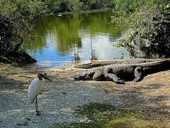 YUM, Lunch! (Shein Die) Tags: nature landscape nikon scenery florida gator wildlife south alligator parks swamps swamp flickraward flickraward5