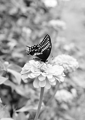 (johnmcochran2012) Tags: blackandwhite flower monochrome rural butterfly pentax takumar farm 55mm spotmatic zinnia blackandwhitephoto blackandwhitephotos blackandwhitephotograph pentaxspotmatic blackwhitephotos 55mmtakumar