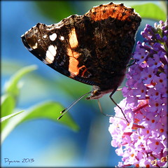 Heading Down! (pixmad) Tags: august redadmiral southport vanessaatalanta 2013 sooc heskethpark bigbutterflycount