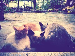 rain of late summer... (Akijos) Tags: rain cat pioggia gatti iphone iphone5 uploaded:by=flickrmobile louisianafilter flickriosapp:filter=louisiana