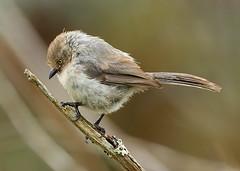 Bushtit (janruss) Tags: bird ngc explore npc avian bushtit janruss janinerussell