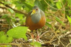 saracura-três-potes (Aramides cajanea)  (9334) (Jorge Belim) Tags: fauna pássaro ave canoneos50d bípede