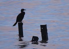 Cormorant in Costanera Norte (ruins of old pier) (todocomoelorto) Tags: pier muelle agua cormoran