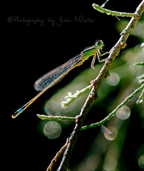 Blue tailed damsel (Ischurna elegans) (Julia - still on and off!) Tags: 1000views bluedamselfly impressedbeauty macromonday bluetaileddamsel canon5dmarkiii canon100mm28fmacroisusm photographybyjuliamartin