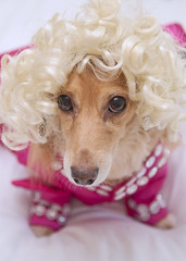 Honey Parton (Doxieone) Tags: pink dog holiday hot cute english halloween costume funny dress sweet cream dachshund wig blonde blondie dolly dressed parton longhaired sb800 fixset