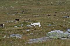 Snow white (hedenljung) Tags: white mountains reindeer sweden albino ren scandinavia herd fjllen vit sapmi rangifertarandus carinou originalfilter uploaded:by=flickrmobile flickriosapp:filter=original