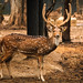Spotted Deer or the Chital