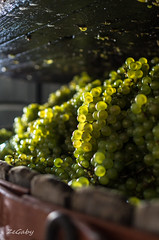 In the wine press... {Explore} (ZeGaby) Tags: nature pentax bokeh champagne raisins grapes vendanges marne 2013 pentaxda35mmf24