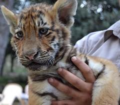 Tigre Timy (LNAOLA) Tags: safari cachorro tigre pequeño peluche