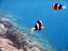 Underwater Kenawa Island (zulfikaralex) Tags: fish coral indonesia island underwater nemo scuba snorkeling pulau sumbawa kenawa